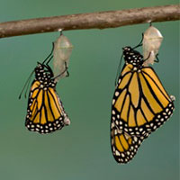 Monarch butterfly stages of metamorphosis